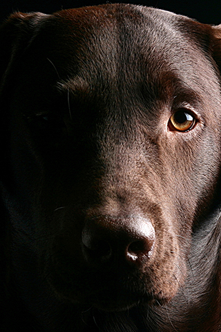 labrador retriever face